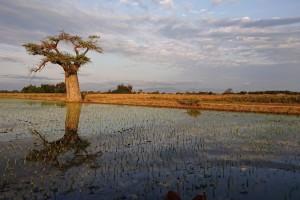 きちんと整備された稲作圃場(タンザニア)